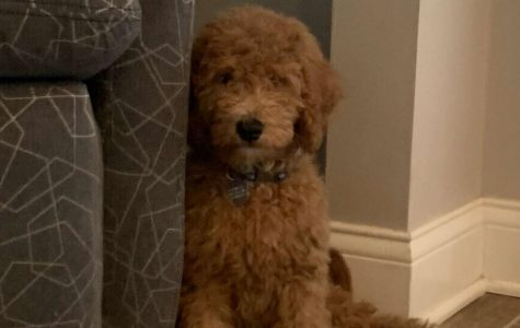 "Junior Sydney White and her family recently adopted Barry, a mini goldendoodle, who made a positive impact on the White family from the start: ""We saw videos of him and just instantly fell in love with him,"" she said."