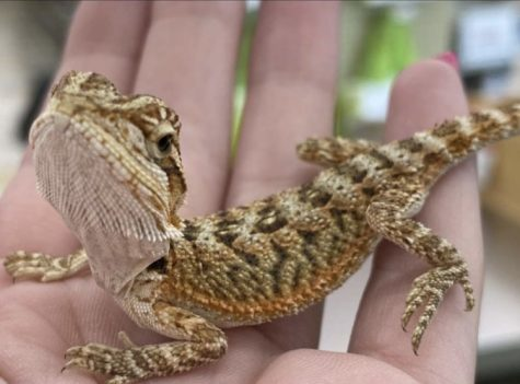 A really friendly and sweet fancy bearded dragon being sold at the Milford Pet Supplies Plus.