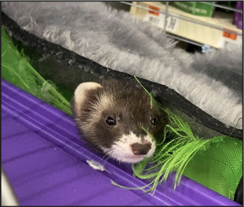 Pet Supplies Plus offers curbside pickup and many different types of pet supplies and animals, including ferrets.