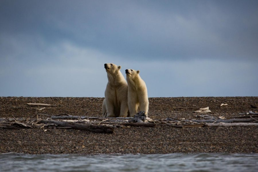 Polar bears in the Arctic National Wildlife Refuge, which will soon fall victim to oil drilling.
